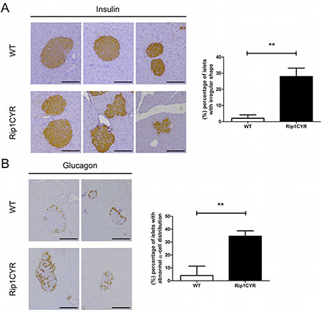 Morphological changes of islets of Langerhans and distorted segregation of α cells in Rip1CYR mice.