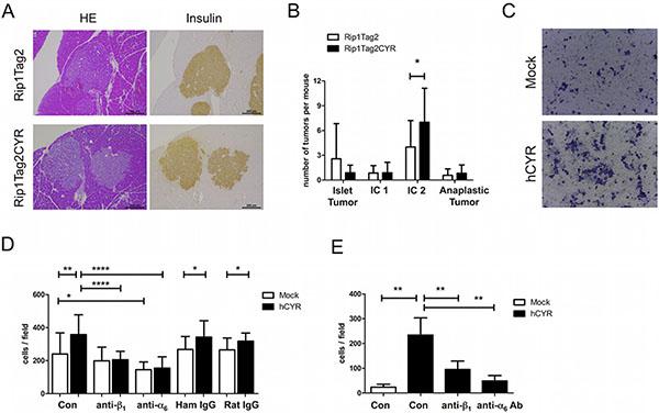 CYR61 enhances β tumor cell invasiveness via integrin α6β1.