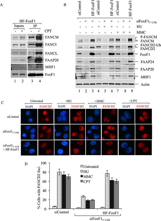 FoxF1 is required for the activation of the FA pathway.