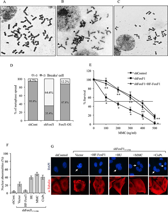FoxF1 deficiency causes genomic instability after DNA damage.