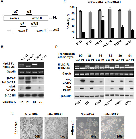 The e8-siRNA#1 targeting the Hipk2-FL isoform induces cell death in tumor cells and colon CSCs.