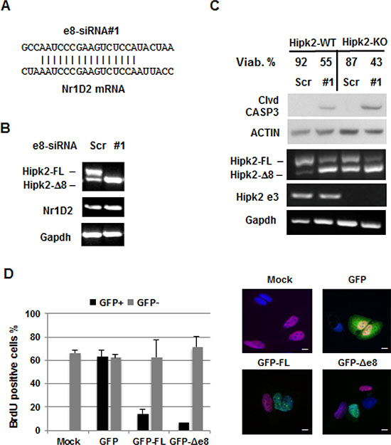 Evaluation of the e8-siRNA#1 off-target effect.