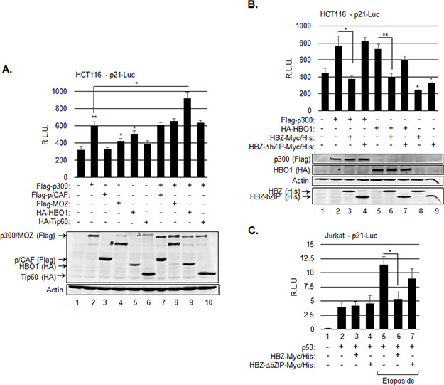 HBZ represses transcription from the p21/CDKN1A promoter through inhibition of p300 and HBO1.