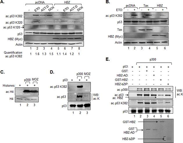 HBZ inhibits acetylation of p53 K382.