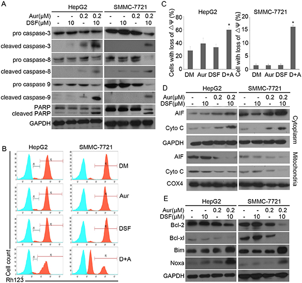 DSF and Aur co-treatment induced caspase activation and down-regulated expression of anti-apoptotic proteins.