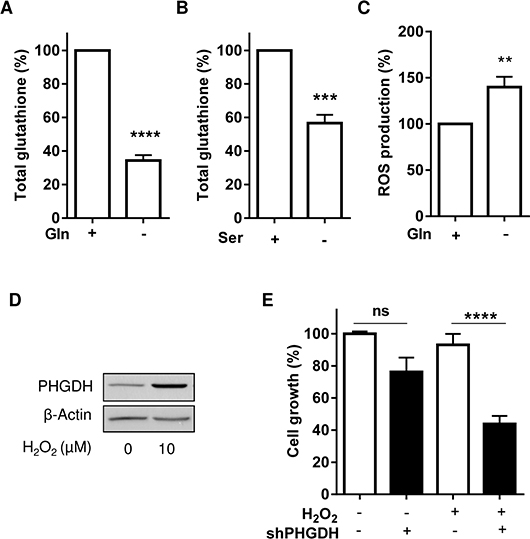 PHGDH expression allows to reduce the extent of oxidative stress induced upon Gln withdrawal.