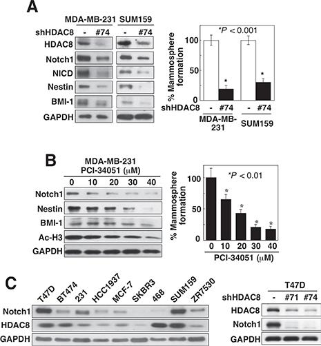 Knockdown of HDAC8 suppresses CSC phenotype.