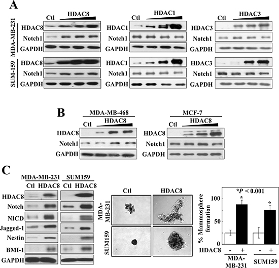 Overexpression of HDAC8, but not HDAC1 or 3, increases Notch1 signaling.