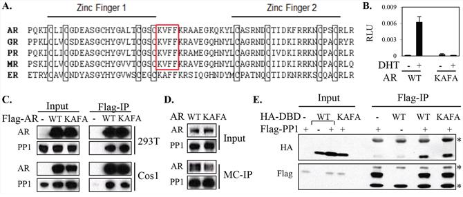 The potential PP1α-interacting KVFF motif of AR is not essential for AR-PP1α interaction.