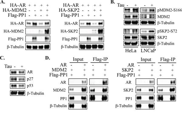 PP1α can dephosphorylate AR degrading E3 ligases.