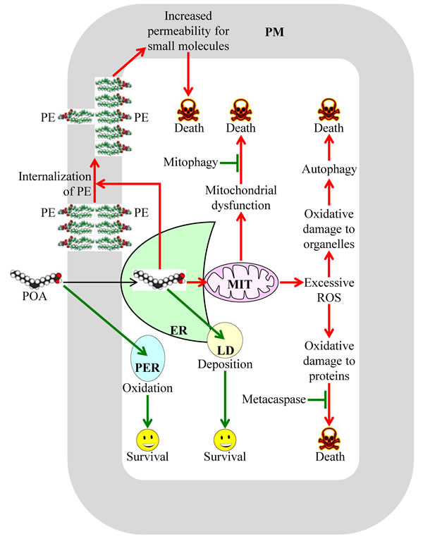 A model for the molecular mechanism underlying a liponecrotic form of programmed cell death (PCD) in yeast.