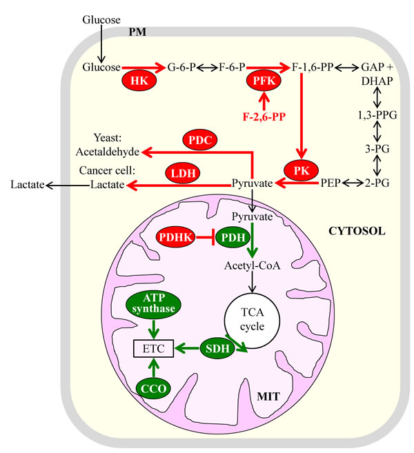 Some of the key metabolic processes underlying aerobic glycolysis in the fermenting yeast