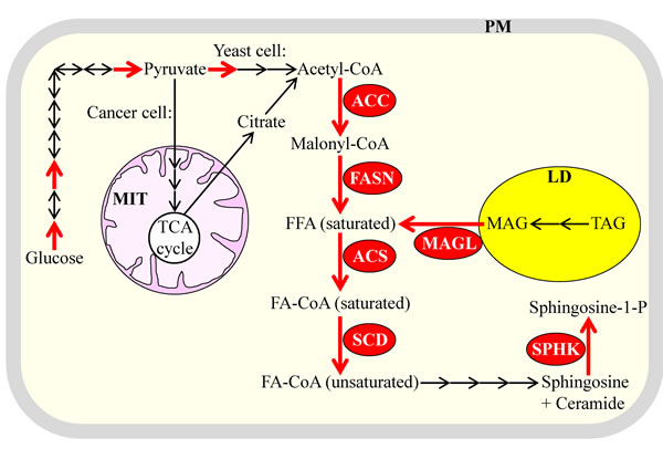 Several of the key metabolic processes underlying lipogenesis in the fermenting yeast