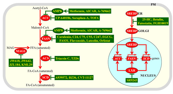 Different mechanisms by which various anti-tumor pharmaceuticals can inhibit lipogenesis in cancer cells.