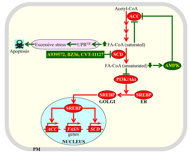 Mechanisms through which an inhibition of stearoyl-CoA desaturase (SCD) by some pharmaceuticals can cause potent anti-tumor effects.