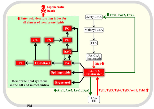 Different ways of increasing the fatty acid desaturation index of various membrane lipids in yeast with the help of small molecules.