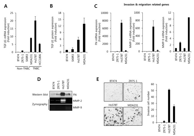 The level of TGF-β1 expression and cell invasion is higher in TNBC cells than in non-TNBC cells.