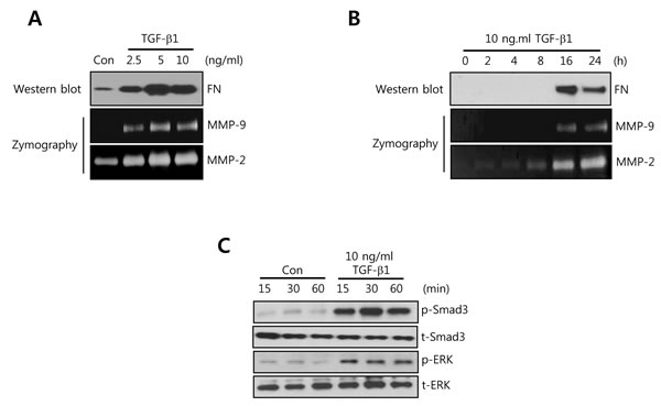 FN, MMP-2, and MMP-9 expression is increased by TGF-β1 treatment in a time- and dose-dependent manner in HCC1806 breast cancer cells.