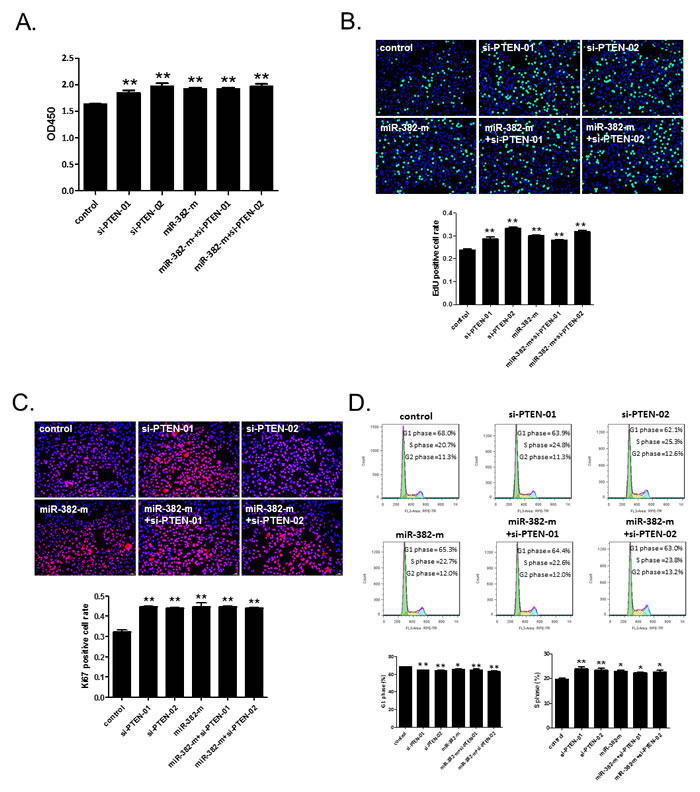 siRNA-PTEN does not further enhance the promotive effect of miR-382 on the proliferation and cell growth of NCTC1469 cells.