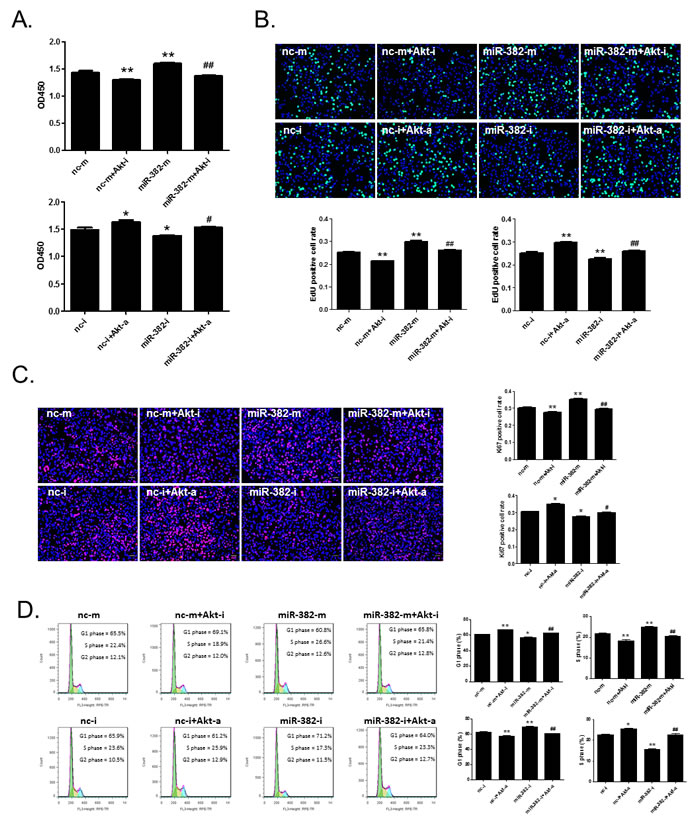 Akt activation is involved in miR-382 overexpression-induced hepatocyte proliferation.