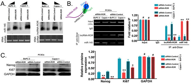 Inhibition of ROR expression by siRNA can promote endogenous miR-145 silencing of Nanog expression in PCSCs.
