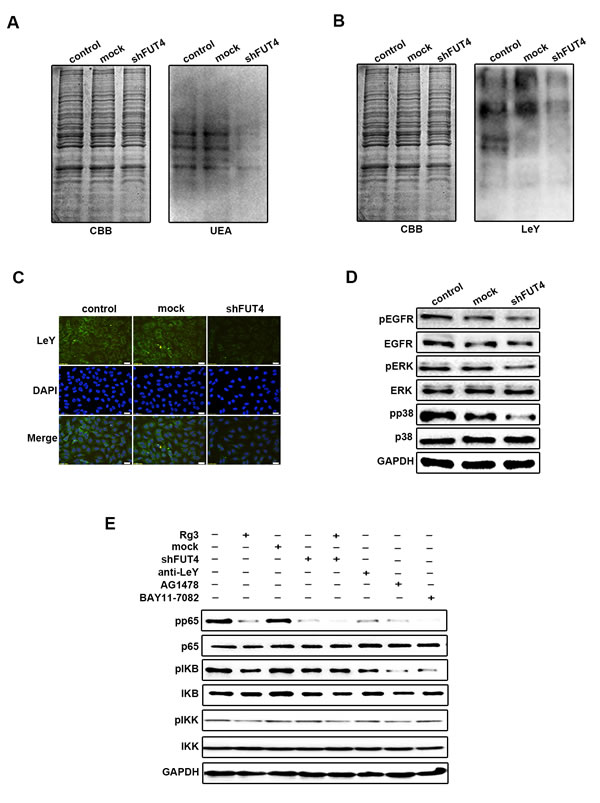 Down-regulating FUT4 expression inhibited LeY biosynthesis, EGFR activation, MAPK and NF-κB signal pathways in A549 cells.