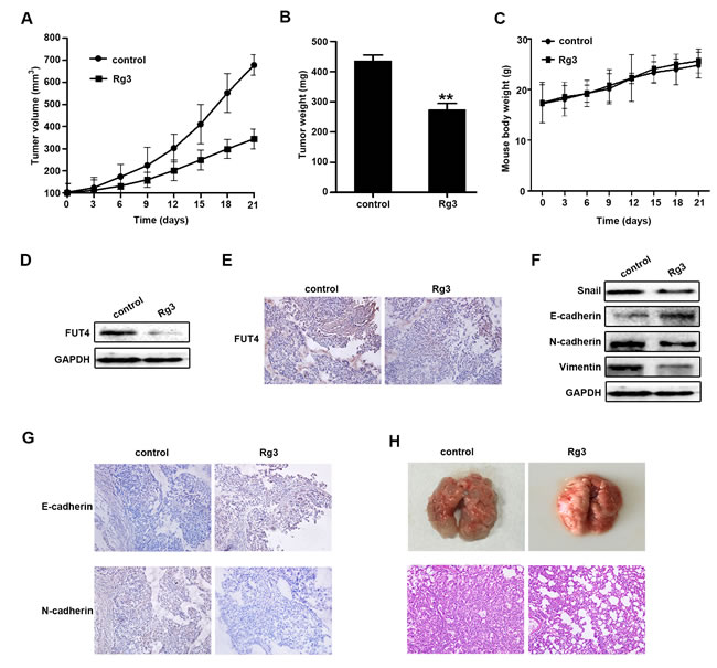 Ginsenoside Rg3 inhibited the growth of NSCLC xenograft tumors, EMT