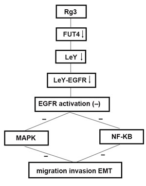 Schematic of the antimetastasis mechanism of Rg3 Schematic to illustrate the hypothetic mechanism that Rg3 down-regulates FUT4 expression, reduces LeY biosynthesis, inhibits EGFR activation by decreasing the biosynthesis of EGFR-carrying LeY, blocks MAPK and NF-κB signal pathways, thus, inhibits migration, invasion and EMT.