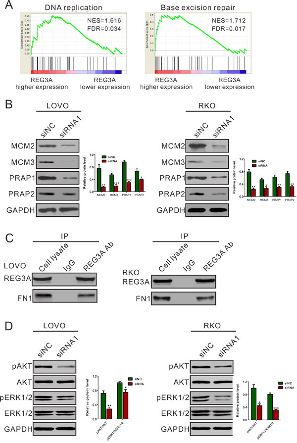 Mechanisms how REG3A exerts its function in CRC.