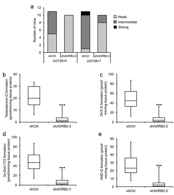 LNCaP shADRB2 castrated mouse tumor characteristics and glucuronidation activity.