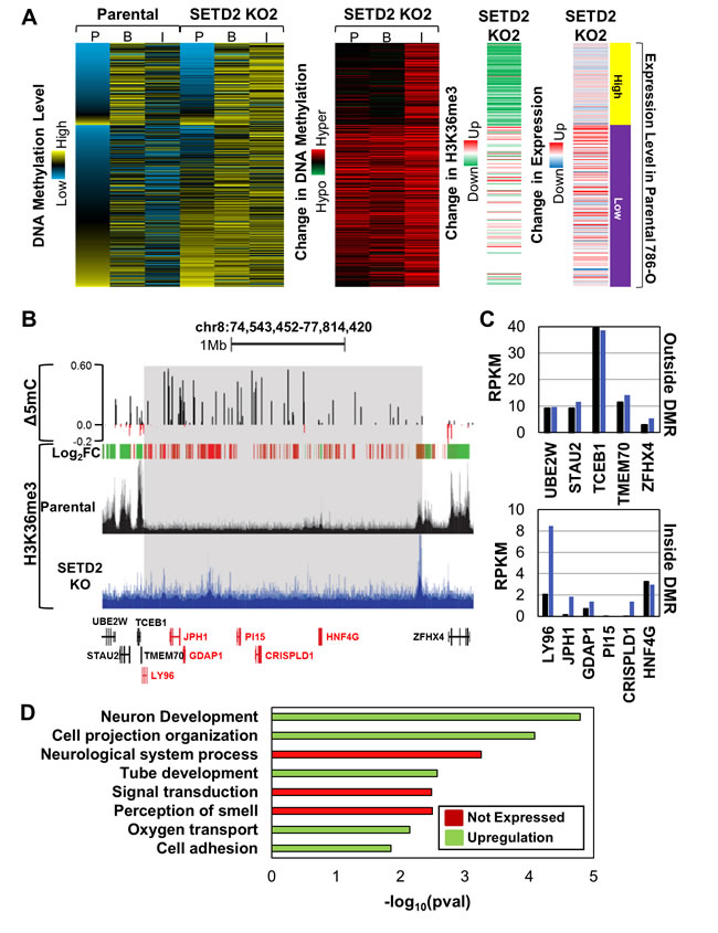 SETD2 loss-of-function induces ectopic H3K36me3 and DNA hypermethylation coordinated across large regions of the genome.