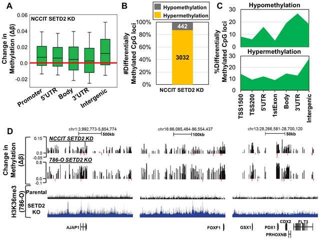 Acute depletion of SETD2 by siRNA in NCCIT embryonic carcinoma cells recapitulates DNA methylation changes observed in SETD2 KO 786-O cells.