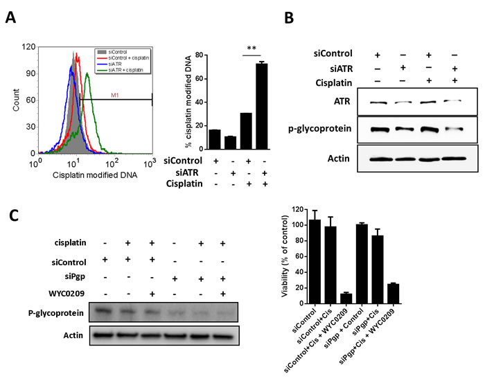 Knockdown of ATR or p-glycoprotein with siRNA increase the cisplatin-DNA adduct in 5637 cells.