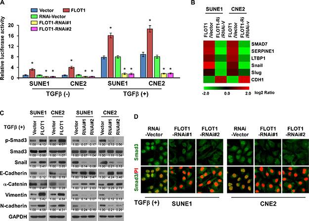 FLOT1 activates the TGF-β signaling pathway.