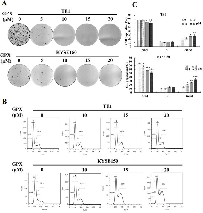 GPX inhibits cell proliferation and induces G2/M arrest in TE1 and KYSE150 cells.