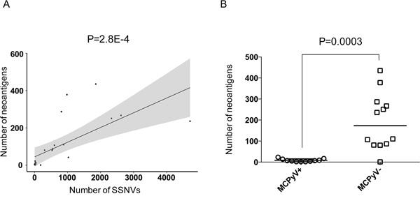 MCPyV- MCCs have a high burden of predicted neoantigens.