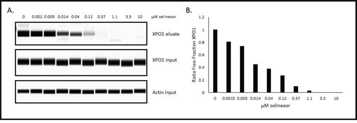 Selinexor binds to XPO1 in a dose-dependent manner in Rev-GFP U2OS cells in the XPO1 occupancy assay.