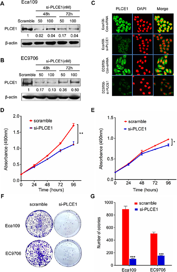 PLCE1 inhibition reduces cell proliferation and colony formation potential in ESCC cell lines.