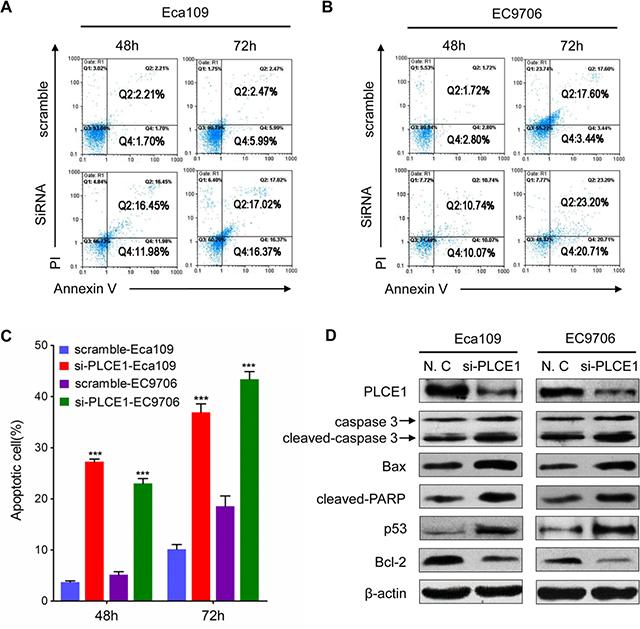 PLCE1 knockdown enhances ESCC apoptosis.