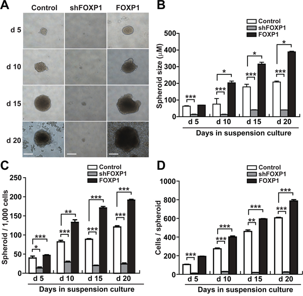 FOXP1 promotes the spheroid formation of A2780 ovarian cancer cells.