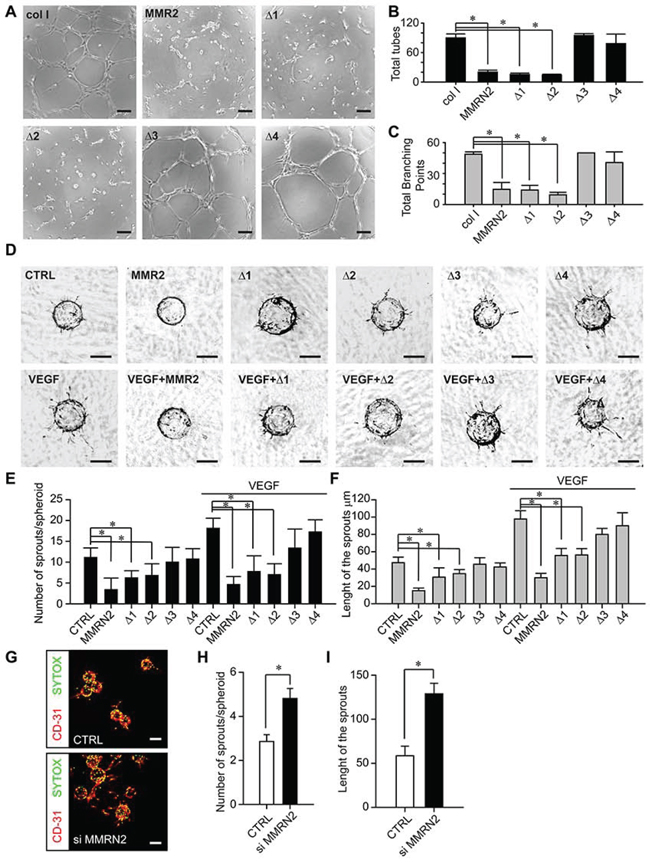 MMRN2 and the functional fragments affect EC behavior in 2D and 3D contexts.