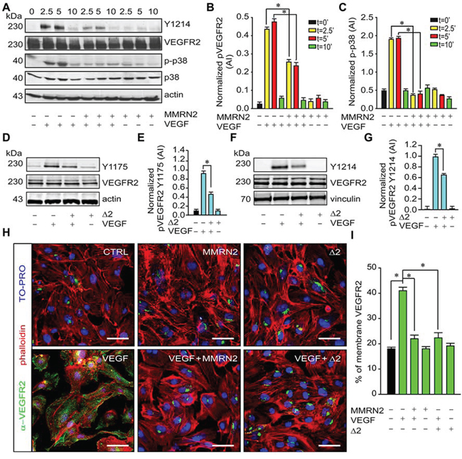 MMRN2 and the Δ2 deletion mutant impair VEFGR2 activation and its distribution at the EC surface.