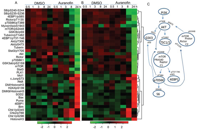 Figure 4. Proteomic analysis of auranofin-induced changes in proteins and protein phosphorylation in lung cancer cells.