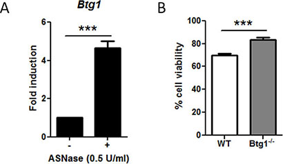 The absence of Btg1 expression in mouse bone marrow-derived B-cell progenitors enhances cell survival in ASNase-treated cells.