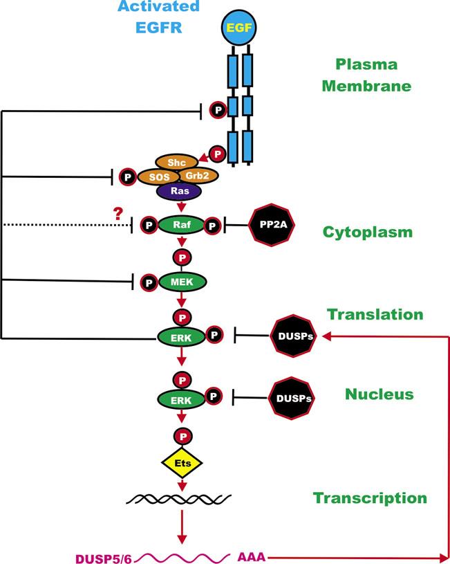 Regulatory Loops in the Ras/Raf/MEK/ERK Pathway.