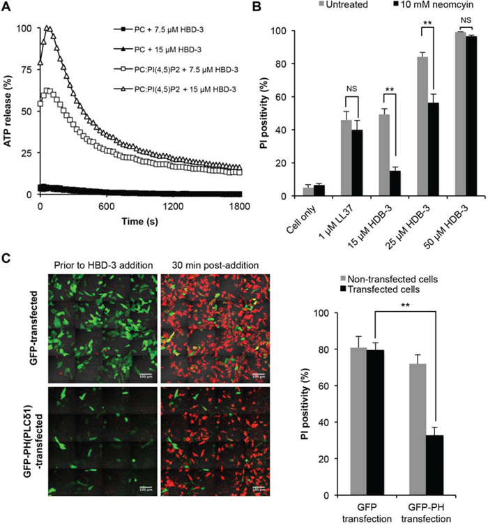 Importance of PI(4,5)P2 binding in HBD3-mediated membrane permeabilisation.