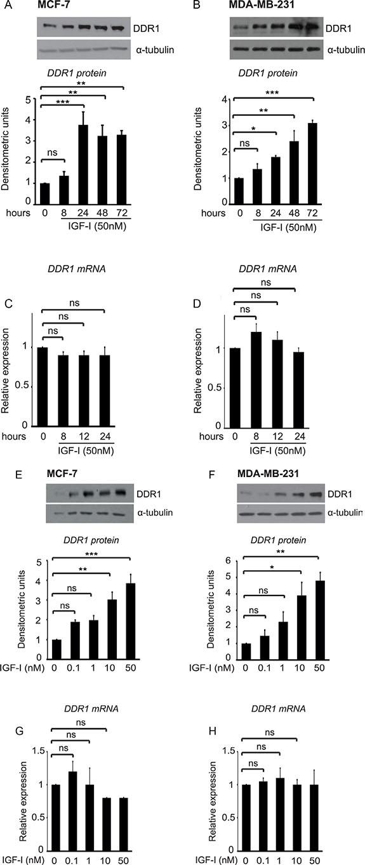 IGF-I induces DDR1 upregulation in breast cancer cells.