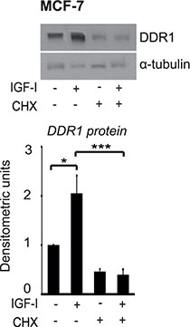 Protein synthesis is involved in DDR1 protein upregulation induced by IGF-I.