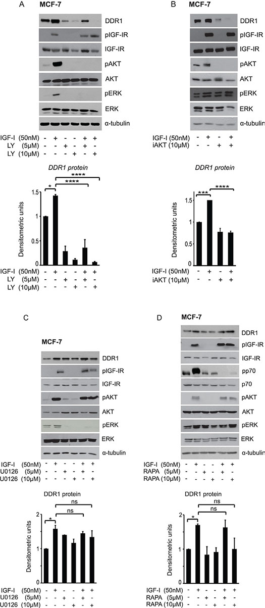 IGF-I dependent DDR1 protein upregulation is downstream the PI3K/AKT pathway and does not require activation of the ERK1/2 and the mTOR pathways.