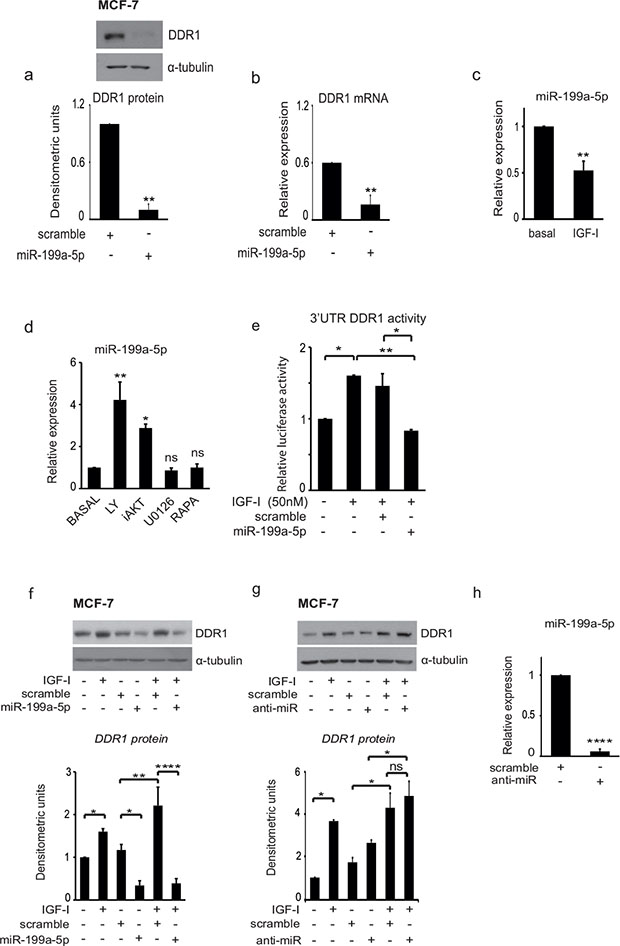 IGF-I induces DDR1 upregulation and increases DDR1 3′UTR activity by inhibiting miR-199a-5p expression.